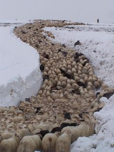 Large sheep flock being moved in winter. My sheep know my voice and they follow me...