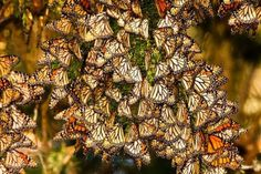 It's March.  Butterflies in Mexico are instinctively becoming active now.  Mating will begin and males die off.  By the end of the month the females will start to fly north into Texas where they will lay their eggs.  After laying eggs, the females die..