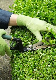 The Dos and Don'ts of Pruning Shrubs Pruning Shrubs - Clippers Pruning Shrubs, Garden Shrubs, Lawn And Garden, Garden Beds, Holly Shrub, Box Wood Shrub, Holly Bush, Boxwood Hedge, Gardens