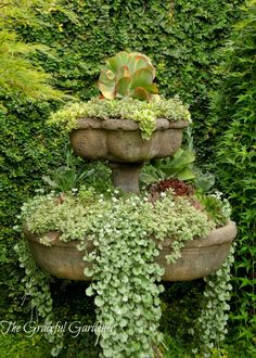 Variety of Succulents- Sedums, Echeverias, Trailing Mezoo and my favorite-Kalanchoe 'Fantastic'. Dichondra 'Silver Falls' was also used in this planting.