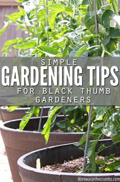 Got a black thumb? Me too, but these simpl gardening tips are a huge help! Stop comparing, learn from those around you and even the world's worst gardener can have a great harvest with these gardening tips! :: DontWastetheCrumbs.com