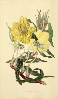 Large-fruited Oenothera, oenothera missourensis   ...