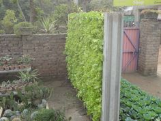 i design this lettuce wall   www.qbfarms.com
