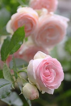 The French rose, 'Pierre de Ronsard'