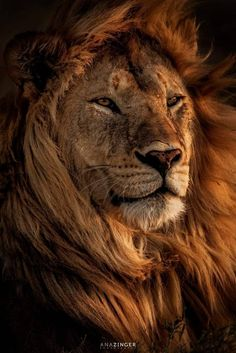 Iphone Wallpaper Cat, Wild Animal Wallpaper, Tier Wallpaper, Iphone Wallpapers, Lion Images, Lion Pictures, Beautiful Cats, Animals Beautiful, Cute Animals