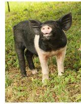 Sebastian & Jane: Tenacious Piglets Make It to Safety
