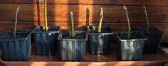 Como fazer as rosas-do-deserto florirem. As rosas-do-deserto, ou Adenium obesum, dependendo dos cuidados podem florir o ano todo e neste artigo de umComo, ensinaremos como fazer as rosas-do-deserto florirem constantemente. Existem algumas ex...