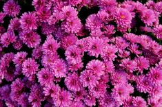 Free Image on Pixabay - Chrysanthemum, Purple Flowers Purple Perennials, Flowers Perennials, Planting Flowers, Perennial Bushes, Perennial Flowering Plants, Light Purple Flowers, Colorful Flowers, Purple Flowering Bush, Phlox Plant