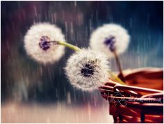 Aren't dandelions wonderful?