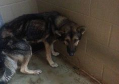 URGENT! A five-year-old emaciated shepherd was surrendered to an open admissions shelter in Polk County, Georgia on Monday. His owners told the staff their dog was too old and no longer useful.