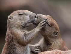 Two ground squirrels that appear to be kissing.