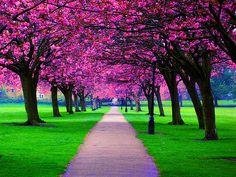 cherry blossom trees in harrogate, north yorkshire Cherry Blossom Wedding, Cherry Blossom Tree, Blossom Trees, Cherry Tree, Pink Blossom, Just Dream, Beautiful World, Beautiful Places, Beautiful Scenery