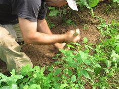 Ausgraben von essbaren Wurzeln mit einem selbstgefertigtem Grabungsstock