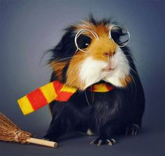 13 Epically Cute Guinea Pig Costumes That Win Halloween Baby Animals Super Cute, Cute Little Animals, Cute Funny Animals, Guinea Pig Costumes, Pet Costumes, Baby Guinea Pigs, Guinea Pig Funny, Pig Pics, Funny Pigs