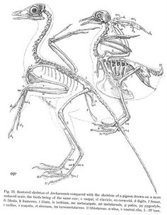 109 best bird skeletons images on Pinterest | Skeleton, Skeletons ...