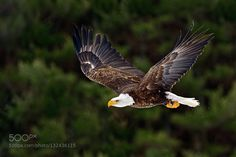 Bald Eagle in Flight 2 by PeterKBurian. Please Like http://fb.me/go4photos and Follow @go4fotos Thank You. :-)