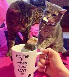 cats make tea