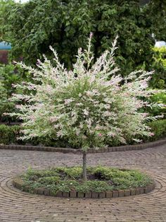 Willow Salix Flamingo or Dappled Willow - growth habits listed on post.[Salix integra 'Flamingo', commonly known as Dappled Willow, Garden Shrubs, Garden Trees, Trees And Shrubs, Trees To Plant, Dwarf Trees, Dwarf Flowering Trees, Dappled Willow Tree, Outdoor Plants, Outdoor Gardens