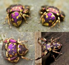 Gorgeous photographs of Simaetha, a stunning purple and gold jumping spider. Images courtesy Theerasak Saksritawee #Critters