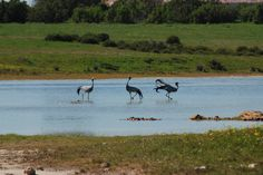 3 Blue Cranes near the Duinepos chalets