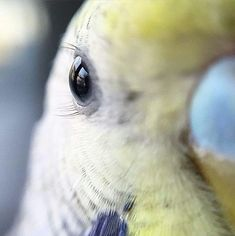 Great shot! Yes they do have adorable little eyelashes. My budgie's lashes are longer on the bottom and are just one of the many ridiculously cute things about him.