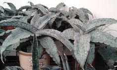 Cacti And Succulents, Planting Succulents, Planting Flowers, Sansevieria Plant, Outside Plants, Low Light Plants, Snake Plant, Echeveria, Growing Plants