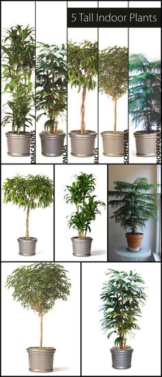 "5 Tall Indoor Plants - http://www.ambius.com/blog/5-tall-indoor-plants/ by Matt Kostelnick ""The Plant Doctor"" - Greener on the Inside"