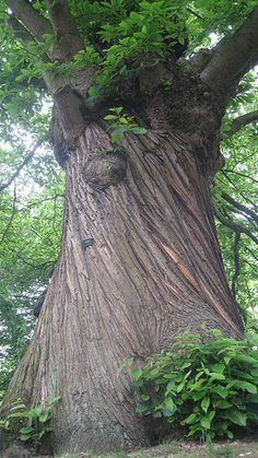 Bark, sweet chestnut tree | Flickr - Photo Sharing!