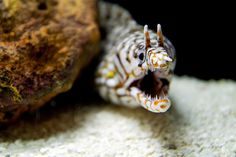 *Leopard Moray Eel (by Hunxue-er)