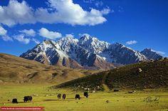 Yaks of Shandur Plateau, Chitral Valley, Pakistan