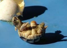 Petite tortue grecque. Image Richard Mayer