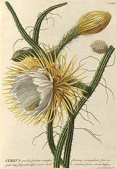Selenicereus grandiflorus subsp. grandiflorus