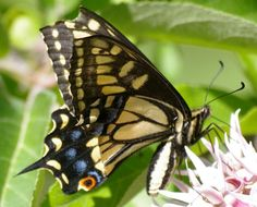 Anise Swallowtail butterfly - caterpillars feed on parsley, fennel and carrot family of plants
