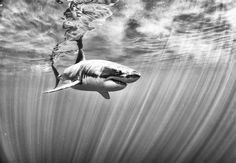Anuar Patjane shoots incredible black and white images of life beneath the sea, bringing you into a world few of us ever see. Beneath The Sea, Under The Sea, Underwater Photography, Animal Photography, Hai Tattoos, Tatoos, Small Shark, Shark Art, Megalodon