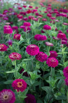 Grow Great Zinnias Nothing says summer more than an armload of cheerful zinnias. Available in a brilliant rainbow of colors, these happy blooms are a must grow for any gardener or flower lover. Cut Flower Garden, Beautiful Flowers Garden, Flower Farm, Flower Gardening, Small Flower Gardens, Flower Garden Design, Cactus Flower, Cut Flowers, Colorful Flowers