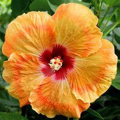 Exotic Hibiscus 'Marmalade Sky'
