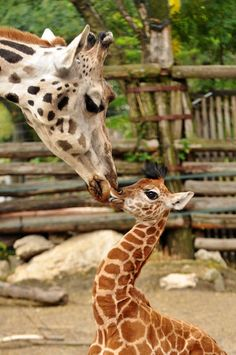 Sempala the Rothschild's Giraffe calf has been getting plenty of super-sized kisses from her mother since she was born on August 13 at the Budapest Zoo.  See more at ZooBorns.com and at http://www.zooborns.com/zooborns/2013/09/baby-giraffe-gets-a-super-sized-smooch-at-zoo-budapest.html