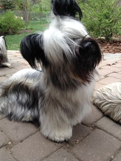 Skye Terrier puppy cuteness!  Joy at 11 months old!