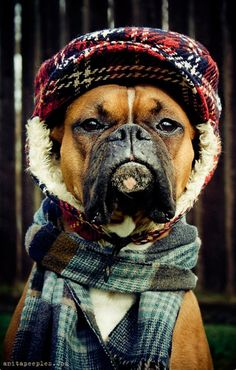 This #Boxer #dog is ready for cold weather