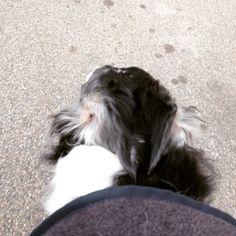 Azu and her perfect ears! #borzoi #AskAzu