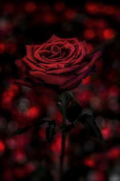 ~~Red Passion ❤️• red rose bokeh by Nasser Osman~~