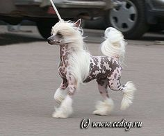 Chinese Crested Dog - Olegro Katrin Never Stop, Europe Winner 2008
