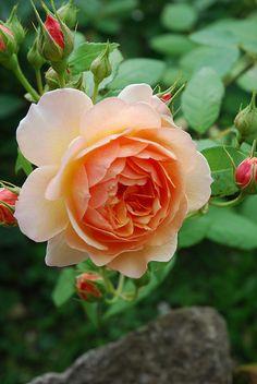 ~'Grace' apricot English rose