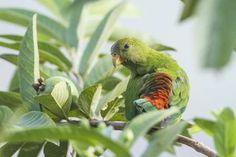 parrot-in-ella-sri-lanka