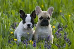 French Bulldog Puppies❤️❤️