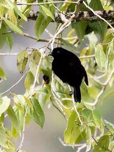 Loria's Satinbird (Cnemophilus loriae)