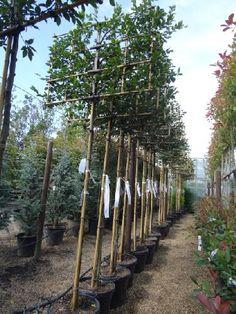 Carpinus Betulas. Pleached Hornbeam Hedging Trees Online, UK
