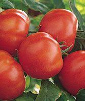 Tomato, Matina Organic