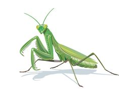 Image result for praying mantis tattoos and praying mantis drawings,sketches,and ideas