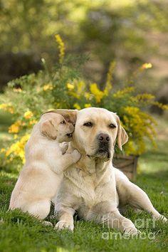 Soll ich dir ein Geheimnis verraten? ©Jean-michel Labat | fineartamerica.com | #Labrador #LabradorRetriever